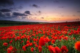 Norfolk Poppies 2013/4