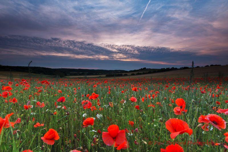 Norfolk Poppies 3