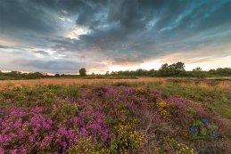 Norfolk heathers 2016 2