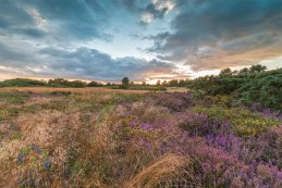 Norfolk heathers 2016 3