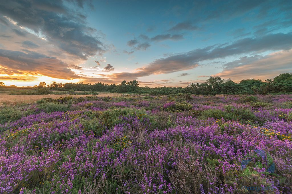 Norfolk heathers 2016 4