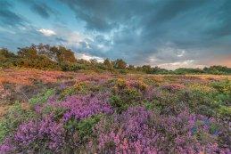 Norfolk heathers 2016 5