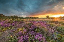 Norfolk heathers 2016 6