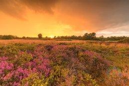 Norfolk heathers 2016