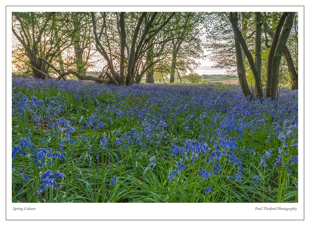 Norfolk Bluebells 2017 3
