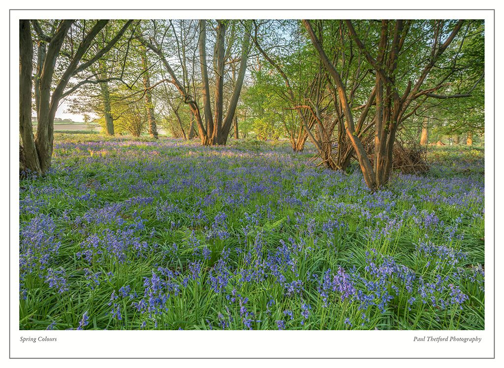 Norfolk Bluebells 2017 4