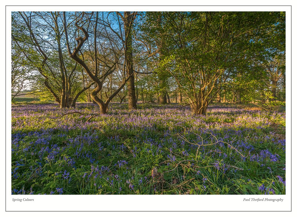 Norfolk Bluebells 2017