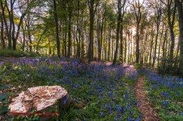Norfolk Bluebells