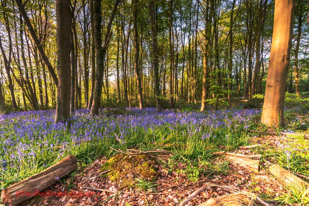 Norfolk Bluebells 2