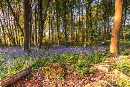 Norfolk Bluebells 2