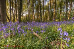 Norfolk Bluebells 3
