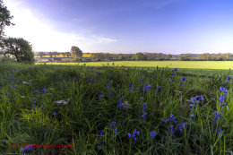 Norfolk Bluebells 4
