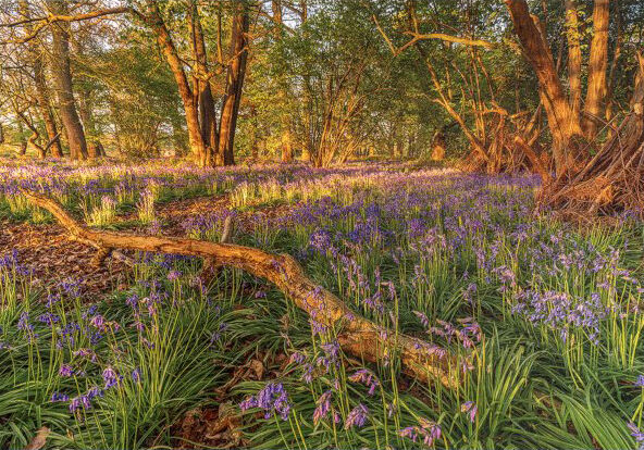 Norfolk Bluebells