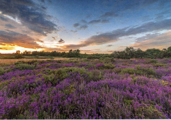 Norfolk Heathers