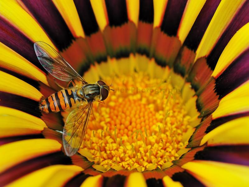 Hoverfly on Gazania