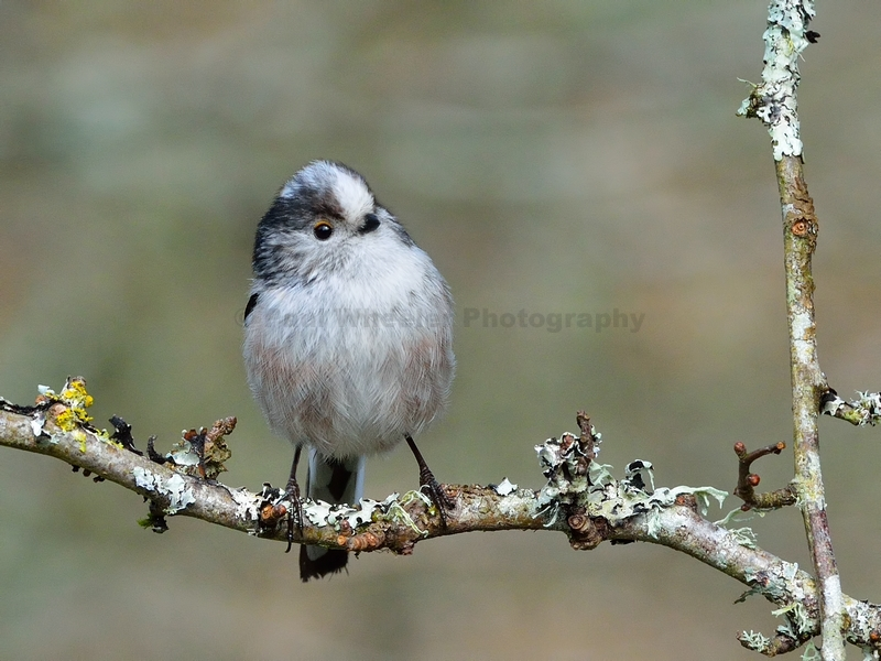 Long-tailed Tit on Lichen Covered Branch