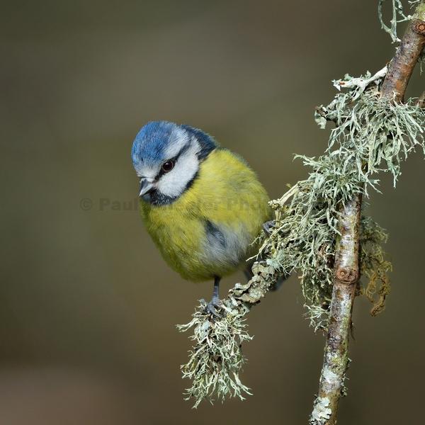 Blue Tit on Lichen