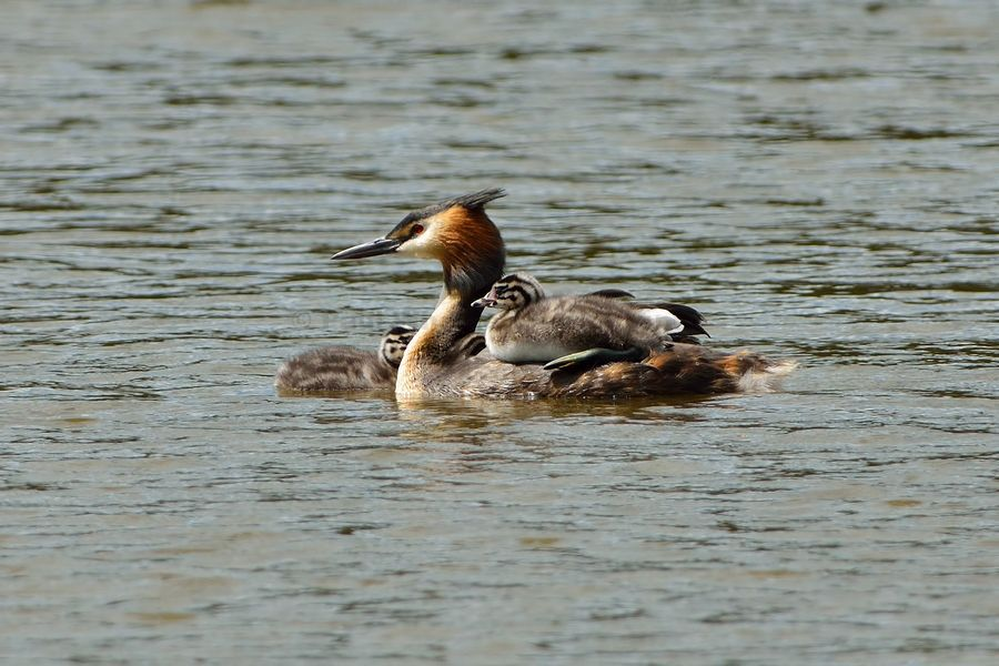 Great Crested Grebe and Chicks
