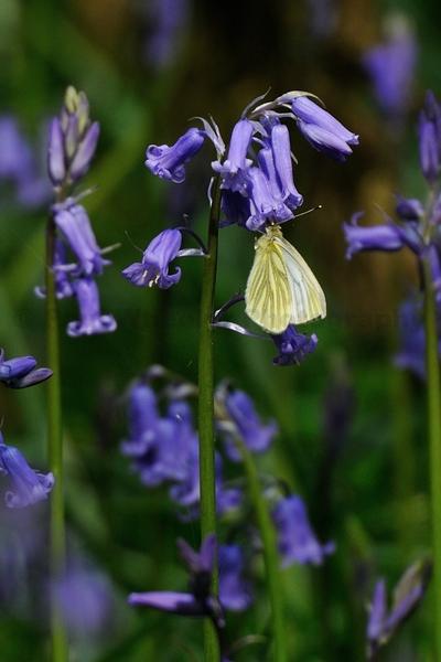 British Woodland in Spring