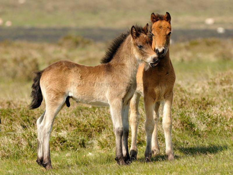 Dartmoor Pony Foals