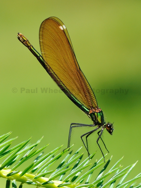 Beautiful Demoiselle (female)
