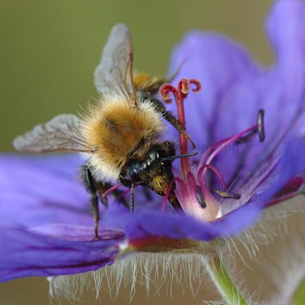 Bee on Geranium Flower