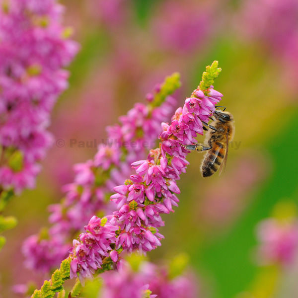 Bee on Heather