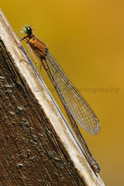 Brown Damselfly