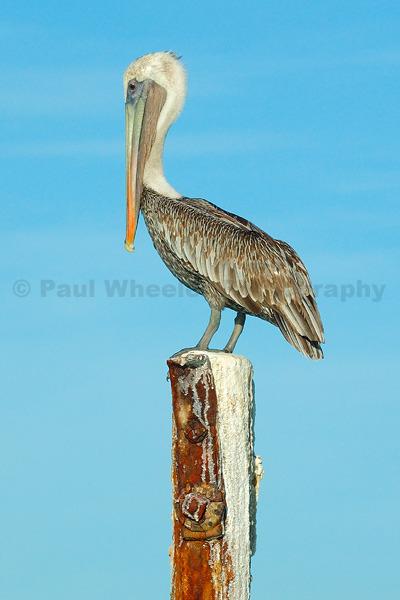 Look at Me! - Brown Pelican - Aruba.