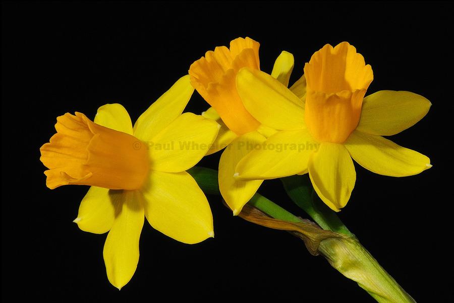 Miniature Daffodil  - Tête-à-Tête