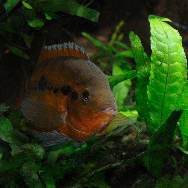 Rainbow Cichlid Hiding in Plants