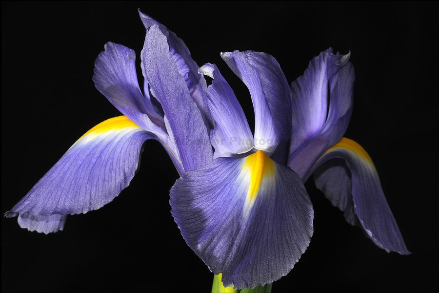 Blue Iris (2)