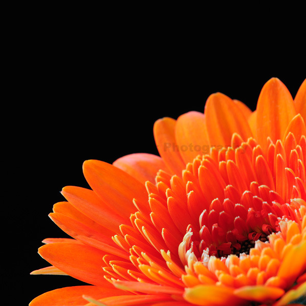 Orange!! (Gerbera Flower)