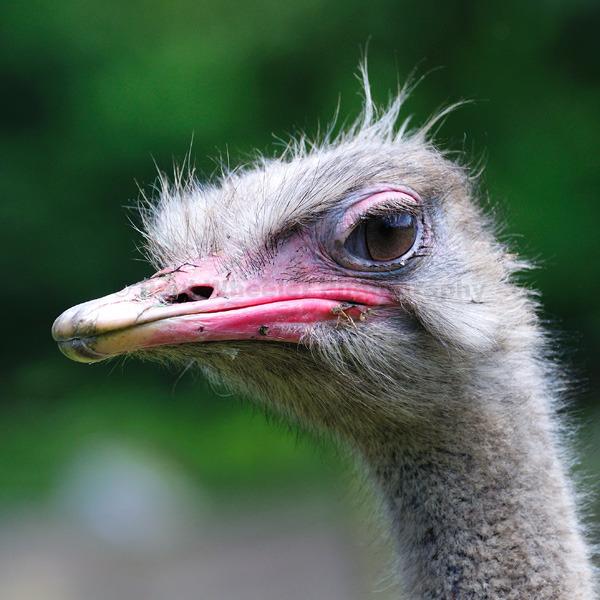 Do you like my eyeshadow? - Male Ostrich