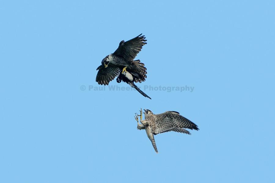 Peregrine Falcon Food Pass