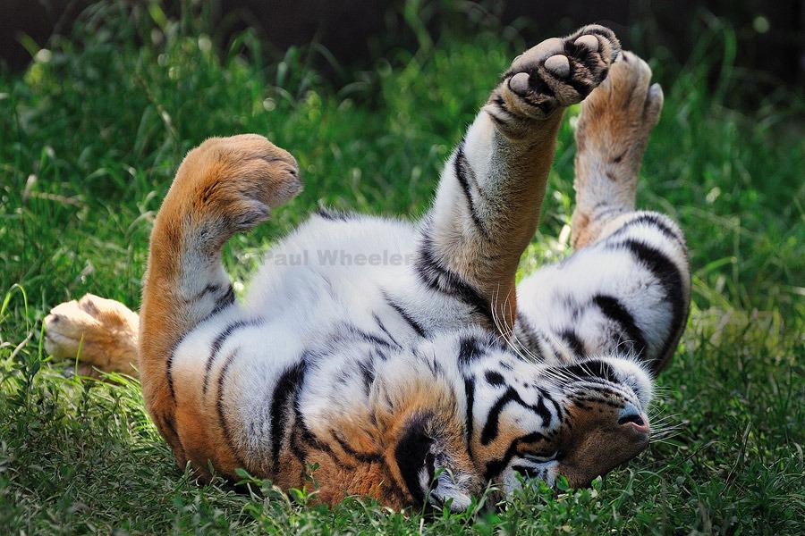 Go on... rub my tummy!!! - Siberian Tiger