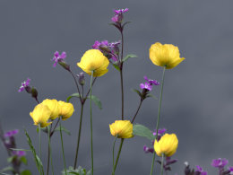 Welsh Poppies & Wood Anemones