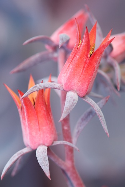 Echevria 'Afterglow'