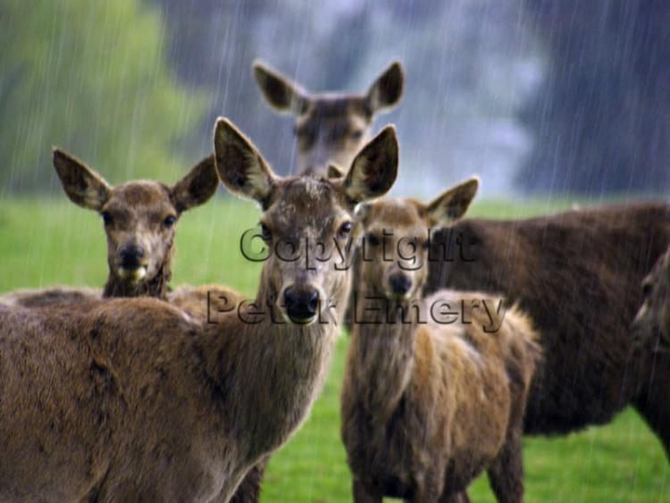 Deer in Rain[Peter Emery]