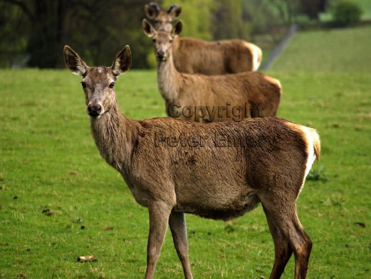 Three Deer [Peter Emery]
