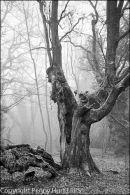 Cwmbyddog Oak