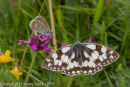 Marbled White and Common Blue