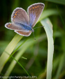 "Common Blue (""brown"" female)"