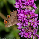 Comma, female, on purple loosestrife