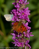 Comma and Common Blue