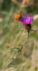 Small Copper on knapweed