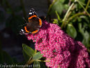 Red Admiral on sedum