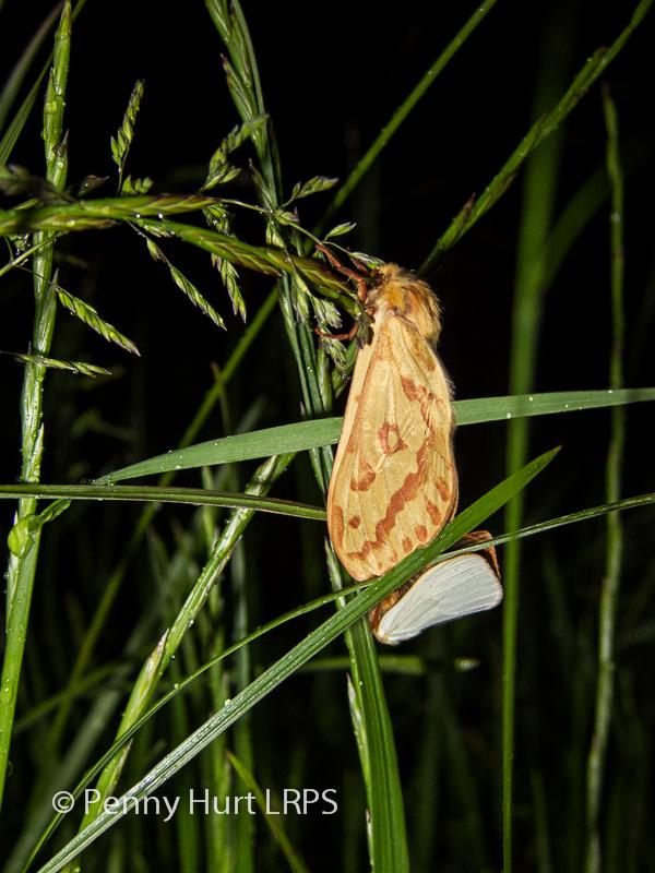 Ghost Moths (Hepialus humuli) Mating