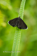 Chimney Sweeper Moth (Odezia atrata)