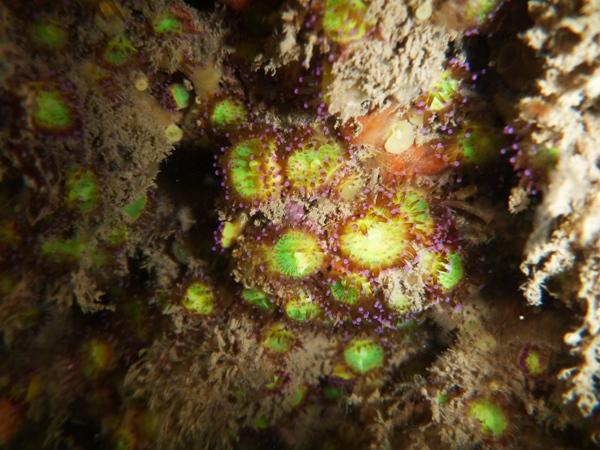 Jewel Anemones